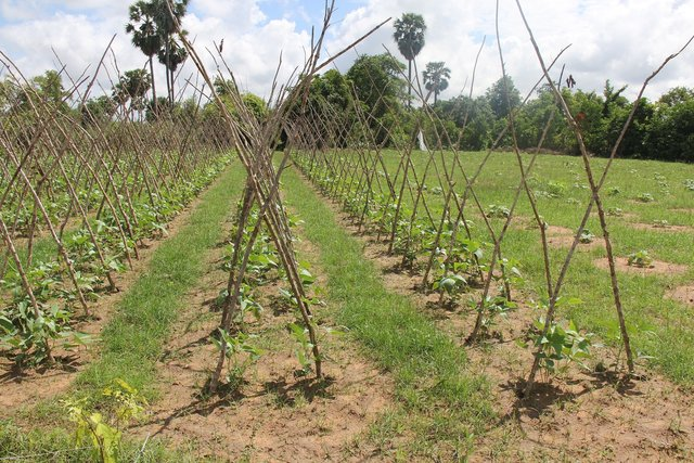 Crop rotation to promote safe vegetables