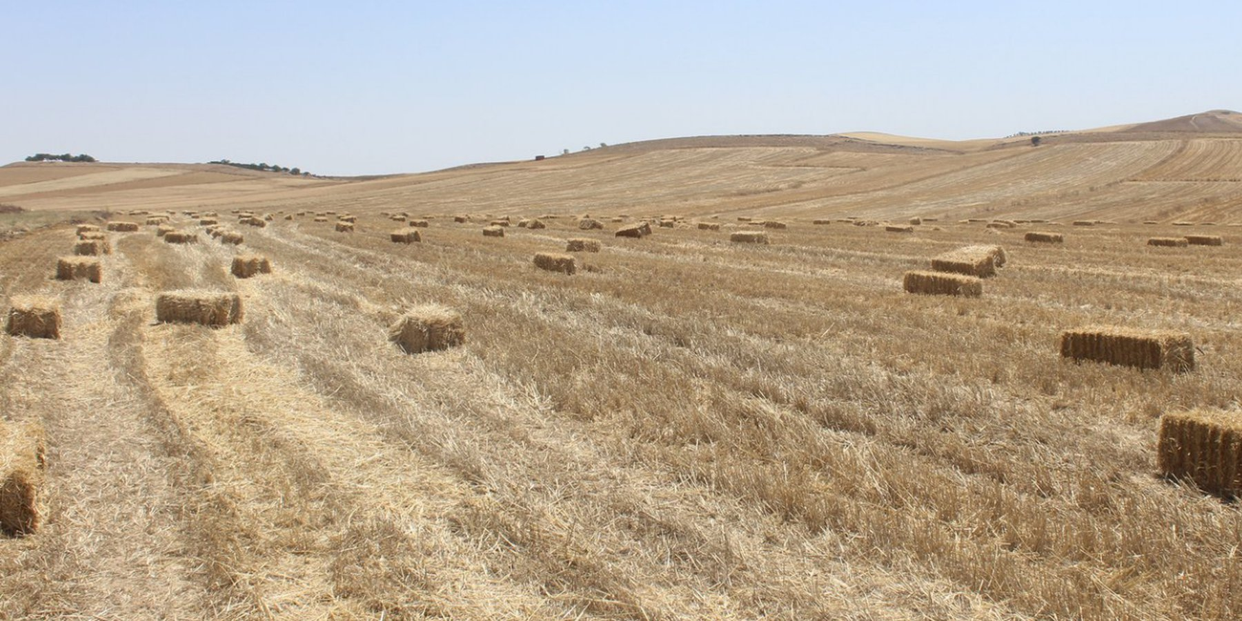 A farm field with a mulch soil cover. The bales of straw are a result of the harvesting by a combine. The stubble is used for limited grazing, Tunisia