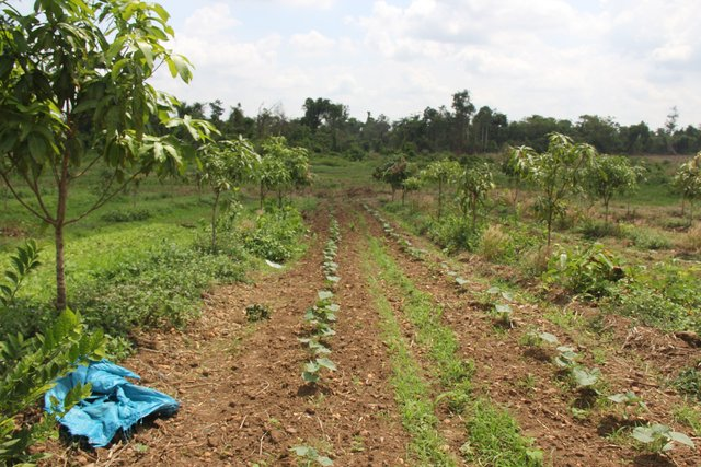 Crop rotation between mango trees in combination with drip irrigation