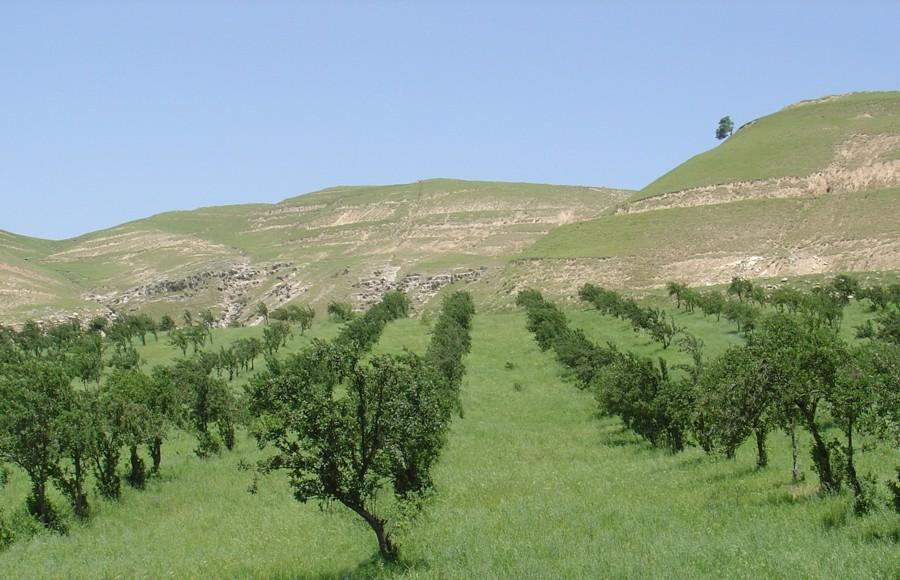 Typical examples of apple trees intercropped with wheat. Alignment of the trees is often a compromise between wind direction, slope and shape of plot.