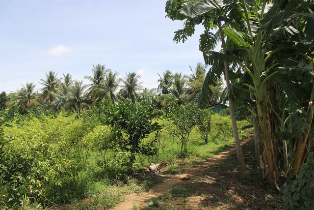 Agroforestry: Intercropping of vegetables between orange trees