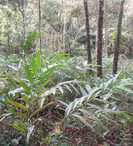 Wild cardamom plantation for sustainable forest management