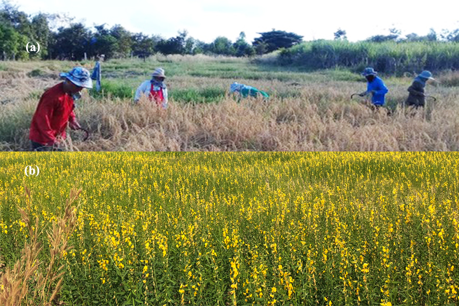 (a) Organic rice production in farmers' fields. (b) Crotalaria as green manure before planting rice.