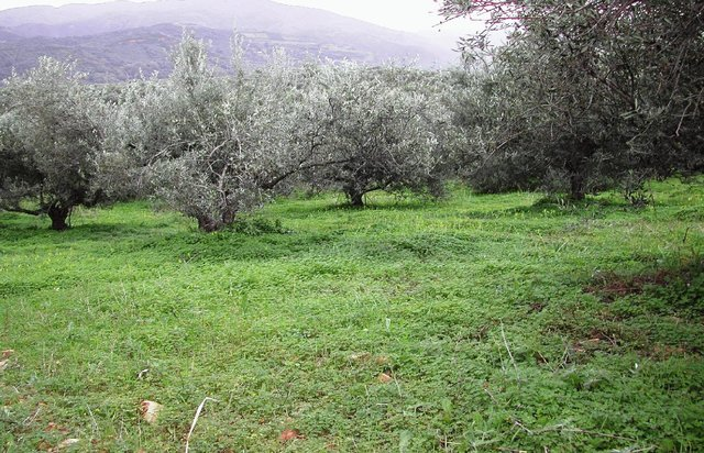 Olive groves under no-tillage operations