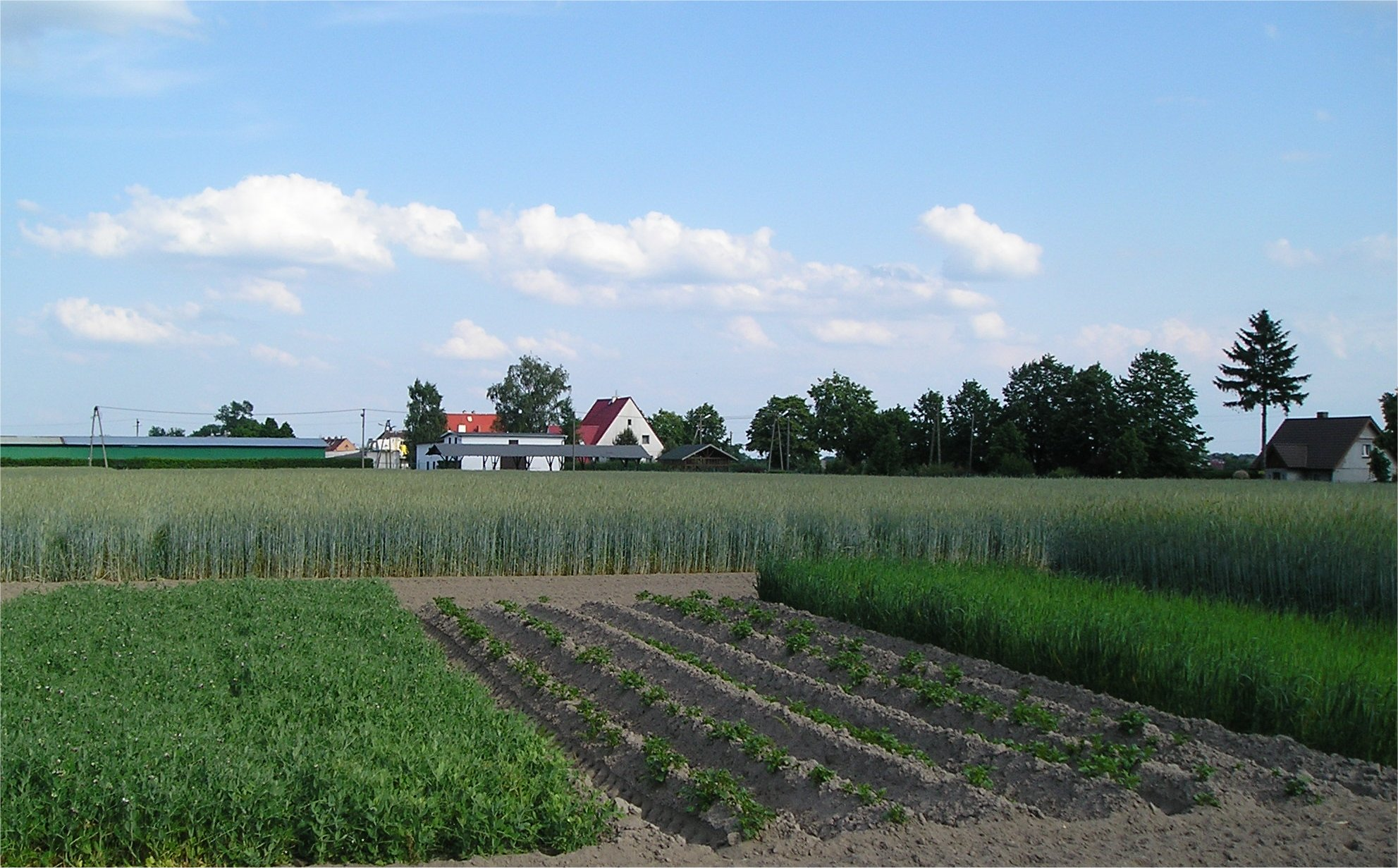 "Example of fields in different crop rotation cycles: Different crops on one farm as part of crop rotations. In the front field, the ""Norfolk"" crop rotation sequence (potatoes, oats, peas, rye) is being applied; in the back field, rye has been grown for 58 years in a row."