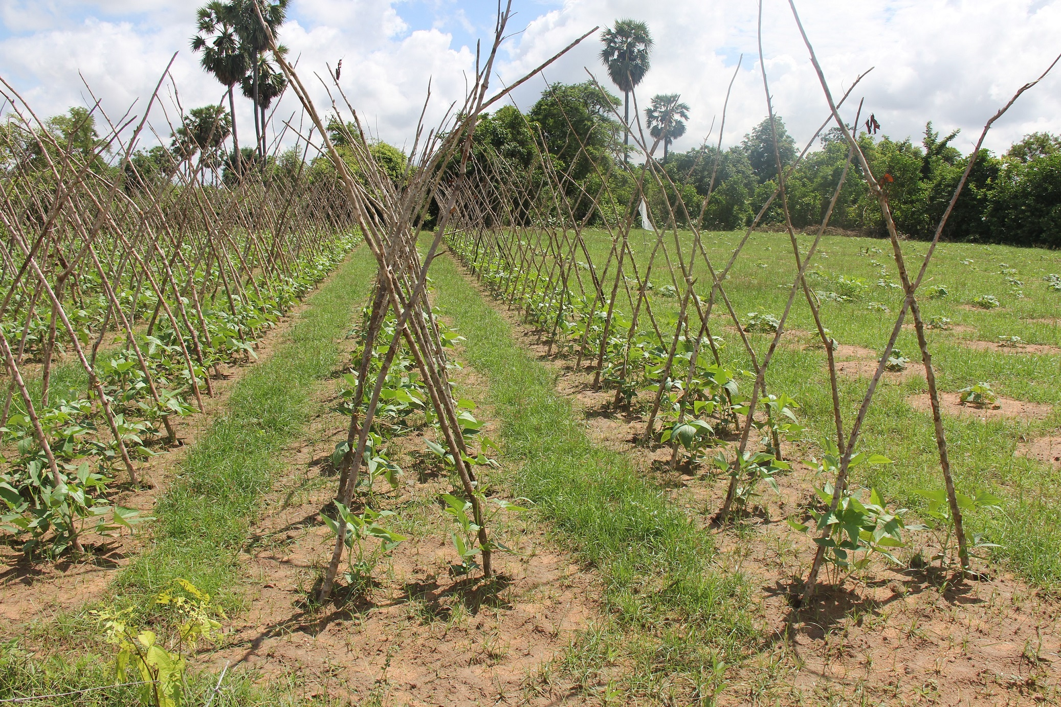 Crop rotation with long bean and luffa