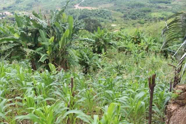 Banana intercropping in sloping land
