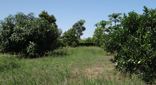 Orchard of Mangoes and Oranges for Soil Fertility Improvement.