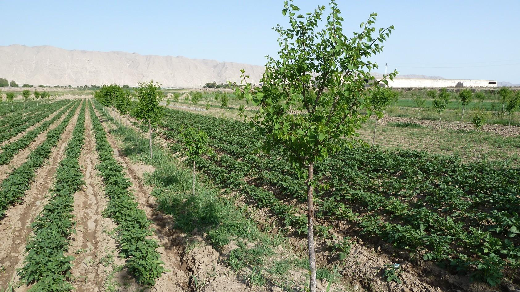 Agroforestry plot on formerly denuded land in a highly arid environment