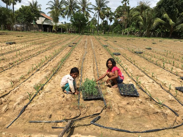 Growing corn using drip irrigation system