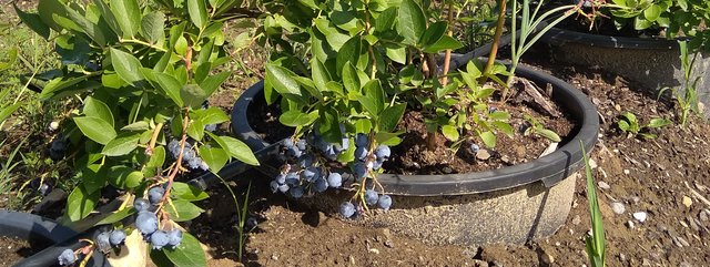 Cultivation of blueberries on infertile/degraded soils using plant pots