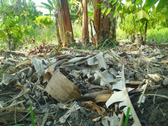 Mulching using  banana leaves