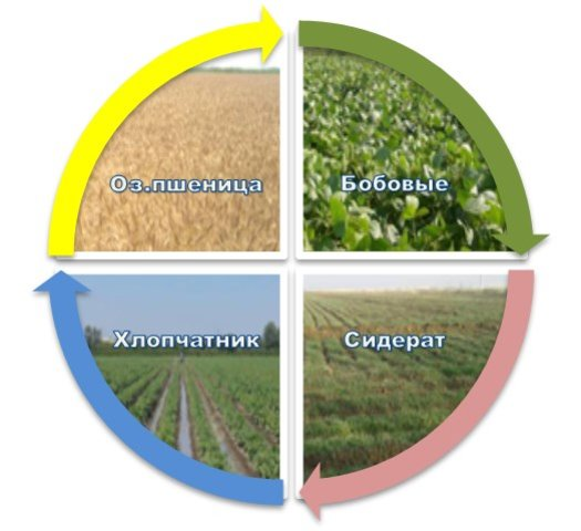 Diversification of crops in salinized soils with the introduction of legumes and green manure