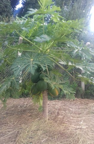 Intensification of pawpaw with mulching
