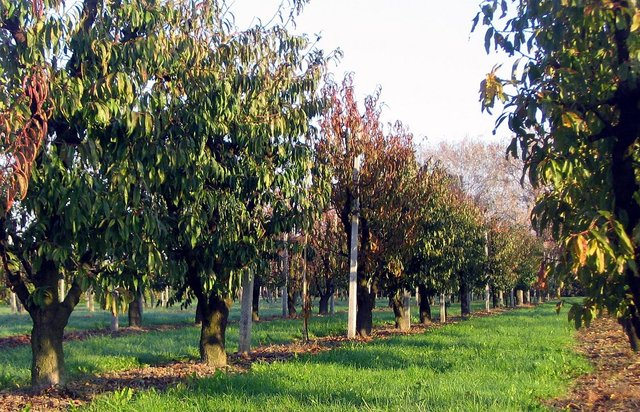 Green cover in orchards