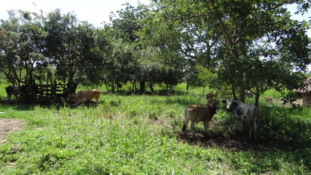 Multi-Purpose Tree Species for Pasture Supplementation