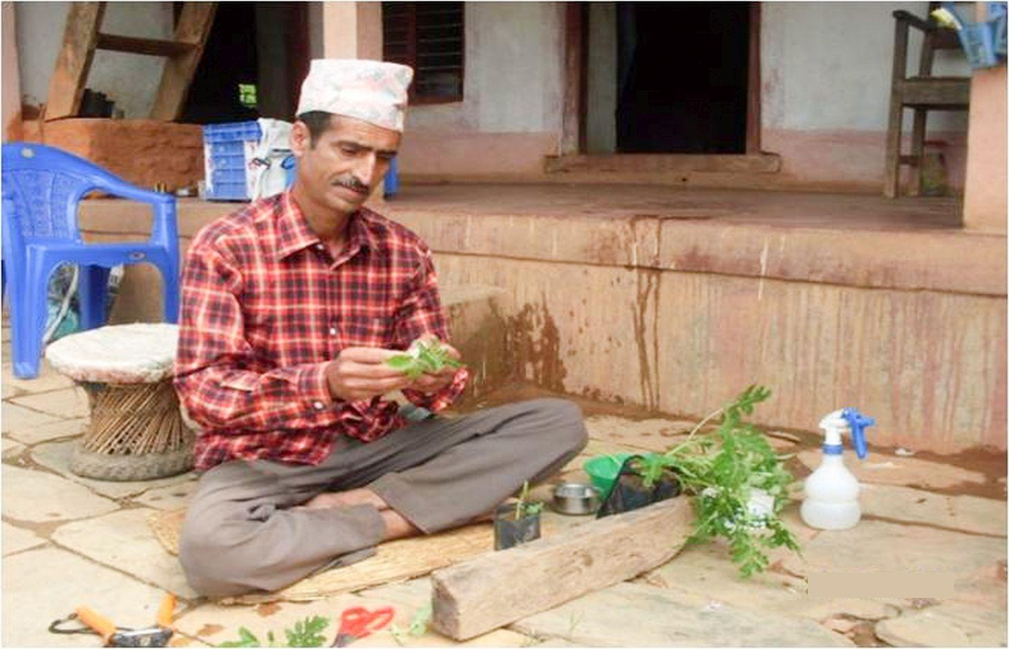 A farmer grafting tomato seedlings