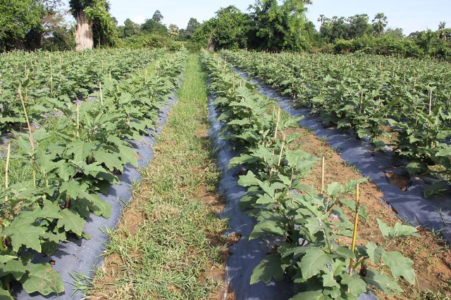 Use of plastic mulch combined with a drip irrigation system for the cultivation of eggplants