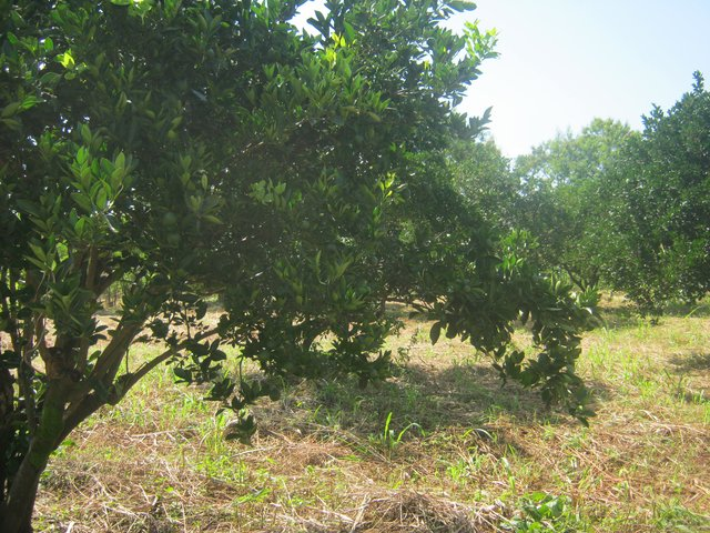 Citrus Orchard  with  Grass  Mulch and Trenches for Soil Erosion Control