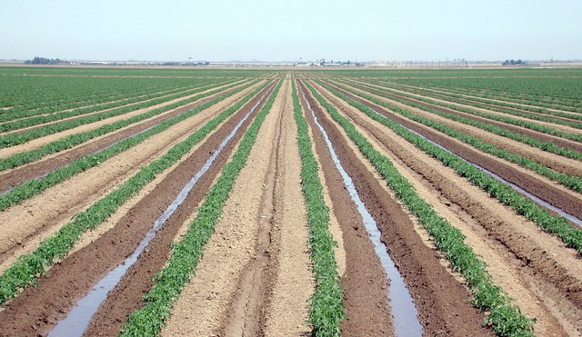 Furrow irrigation with alternating dry  and watered (wet) furrows