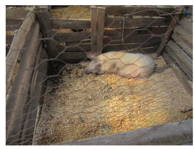 Indigenous Micro Organism (IMO) use in Natural Pig Farming