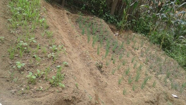 Vegetable garden to improve vegetation cover in sloping land