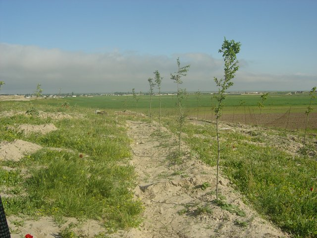 Almond  planting on shallow terraces to increase the efficiency of rainfed lands and to prevent erosion