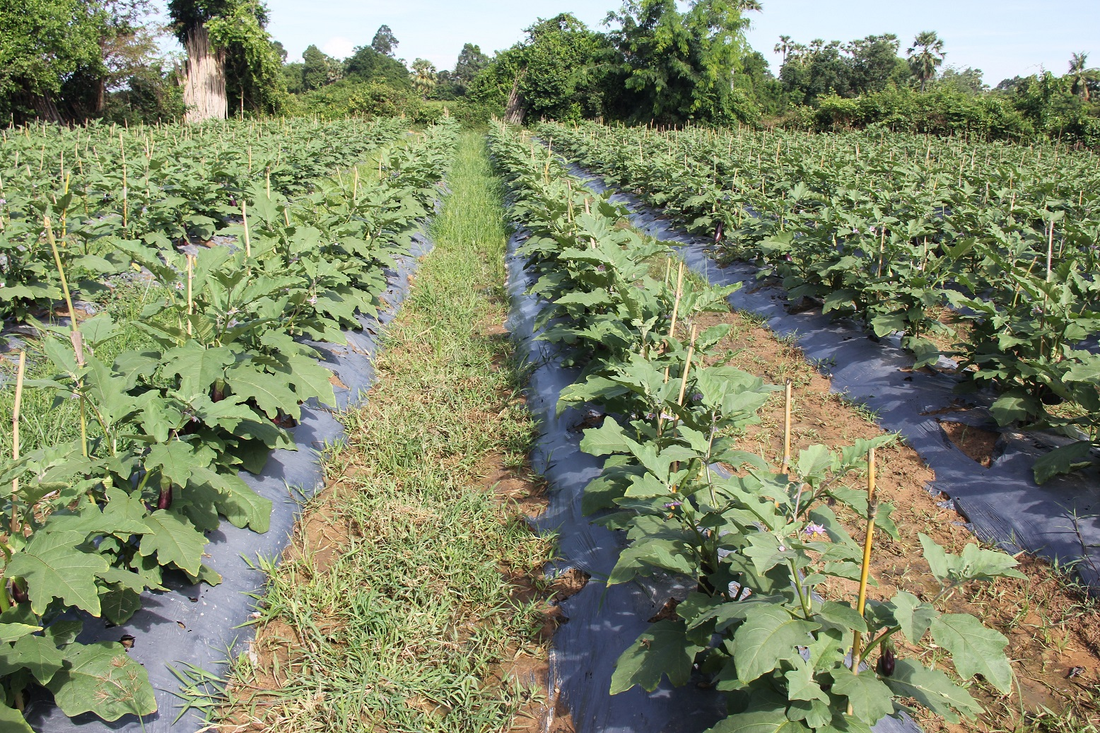 Eggplants cultivation by using plastic mulches and set the drip irrigation on the row under the plastic.