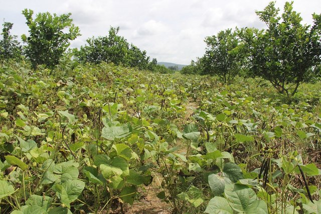 Intercropping of orange trees with mungbean in mountainous areas