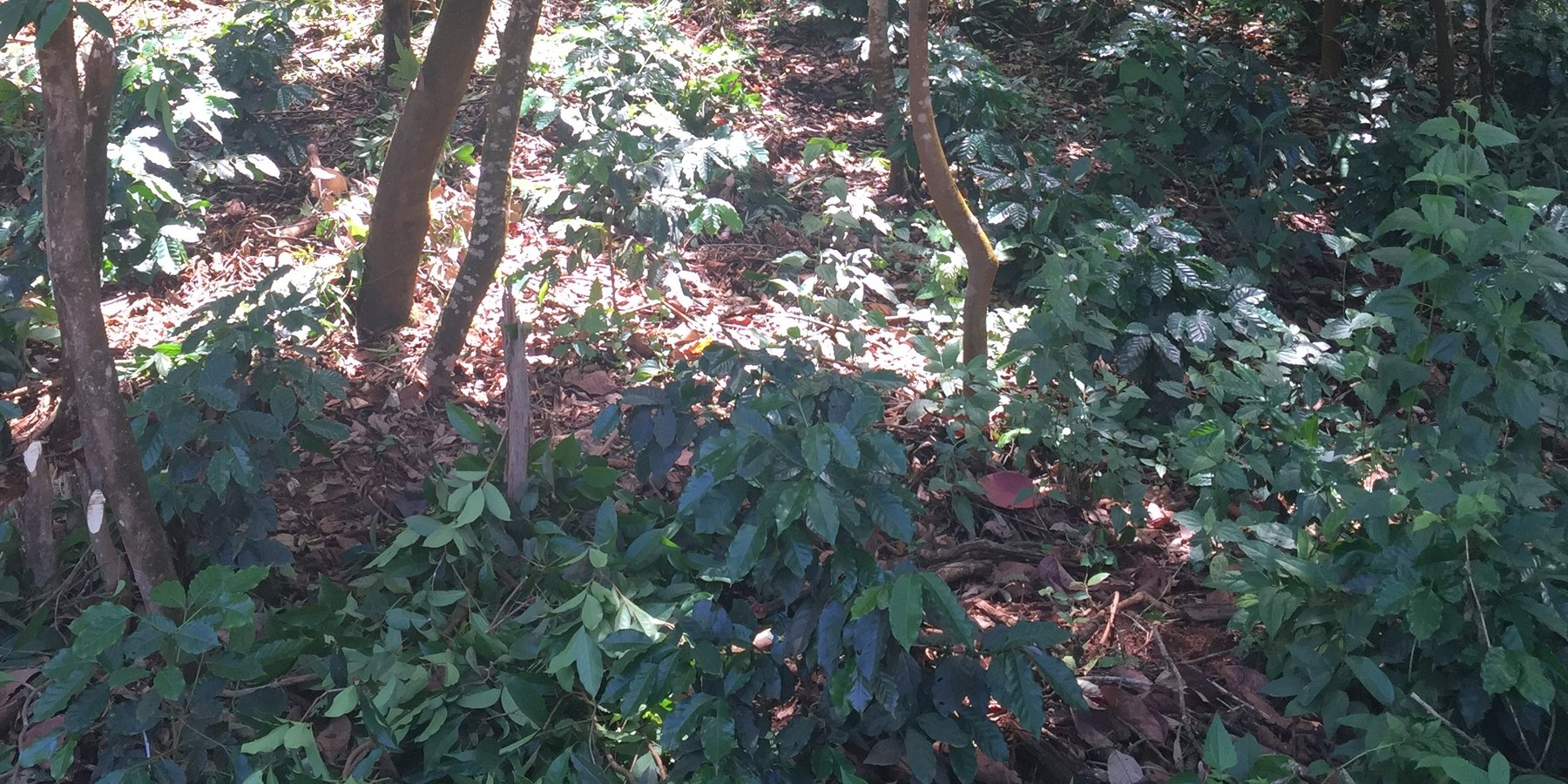 Coffee cultivation with the trees in a fallow area