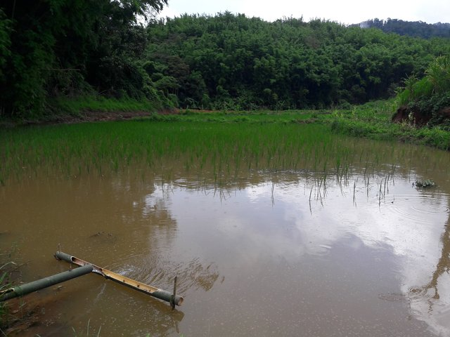 An integrated rice - fish system