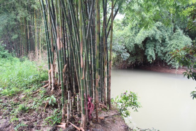 Cultivation of Bamboo to Prevent Soil Erosion
