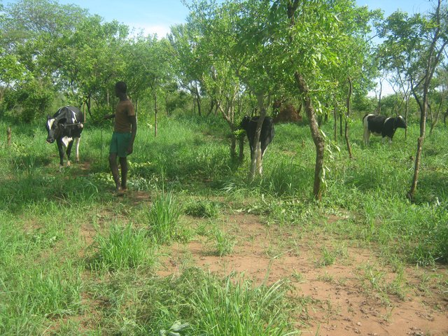 Reclamation of indigenous pastures for dairy farming