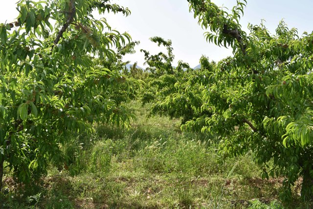 Fruit trees under biodynamic agricultural management in southern Spain
