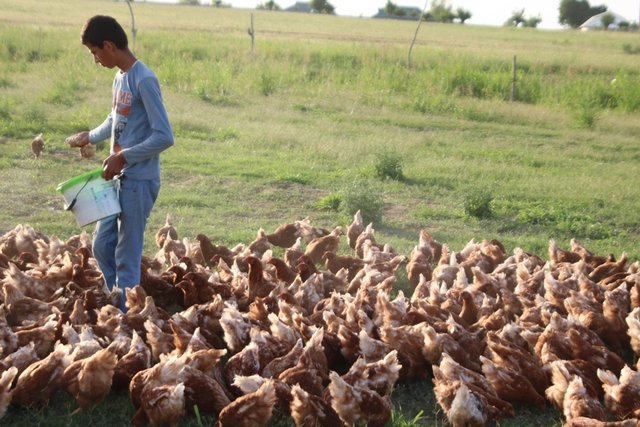 Poultry Development gives opportunity to enhance productivity of the lands