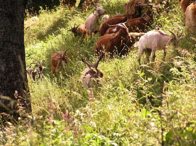 Controlled grazing in deciduous  woods as an alternative to grazing on  rangeland