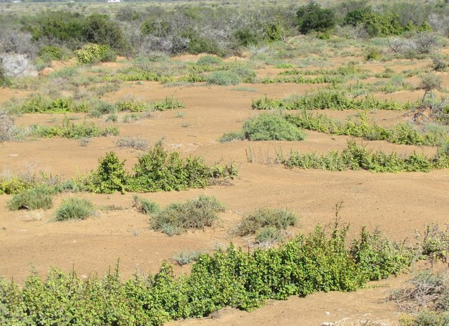 Spekboom (Portulacaria afra) planting within riplines for thicket biome restoration