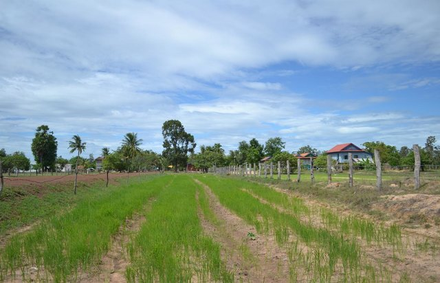 Adapted System of Rice Intensification (SRI) principles in Kampong Chhnang