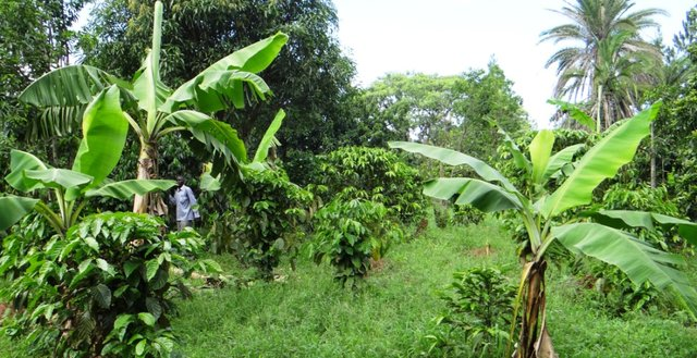 Multi-Canopy Agroforestry
