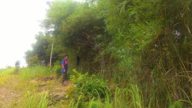 Planting bamboo for fencing and wind protection