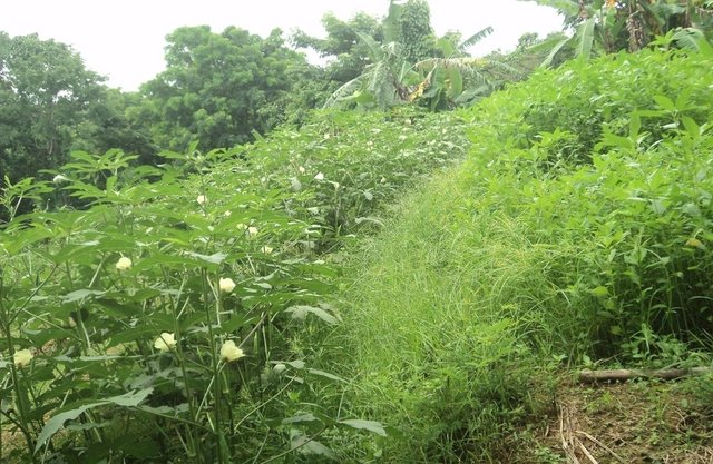 Minimizing soil erosion through Natural Vegetative Strip (NVS) practice in slope cultivation