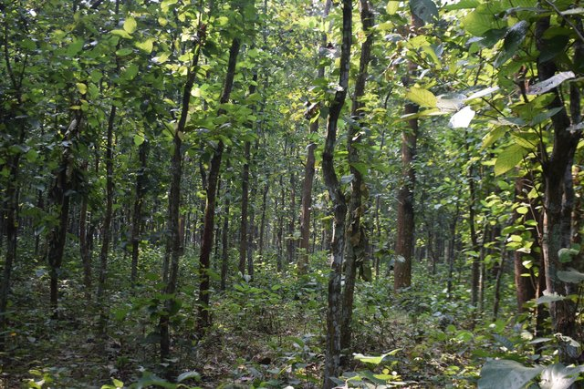 Coppice management of Sal (Shorea robusta) forest