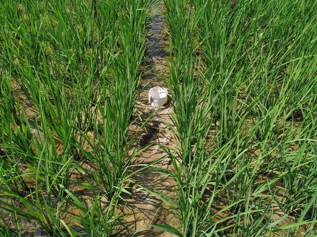 Alternate wetting and drying (AWD) method in rice cultivation