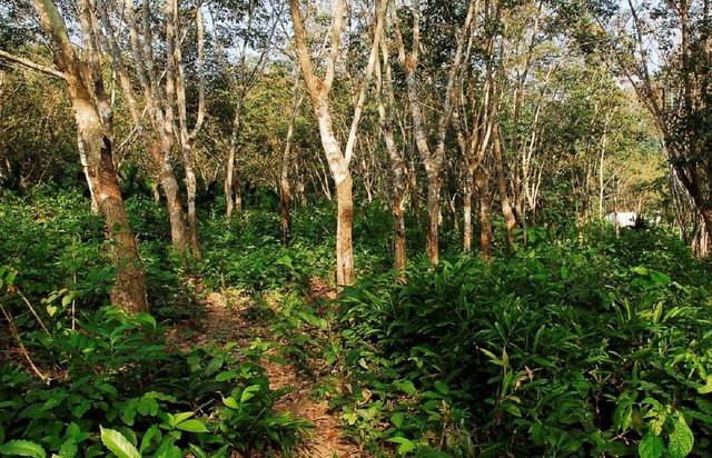 Integrating native trees in rubber monocultures