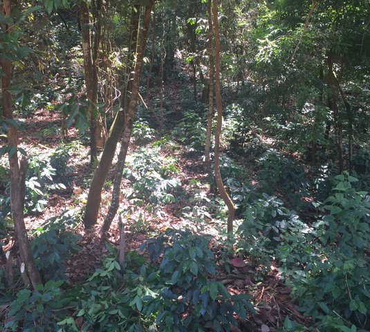 Coffee cultivation between big trees in sloping fallows