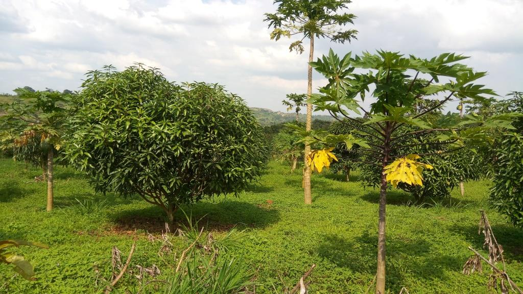 Mango and pawpaw fruit tree field in Kyegegwa town council, Kyegegwa District
