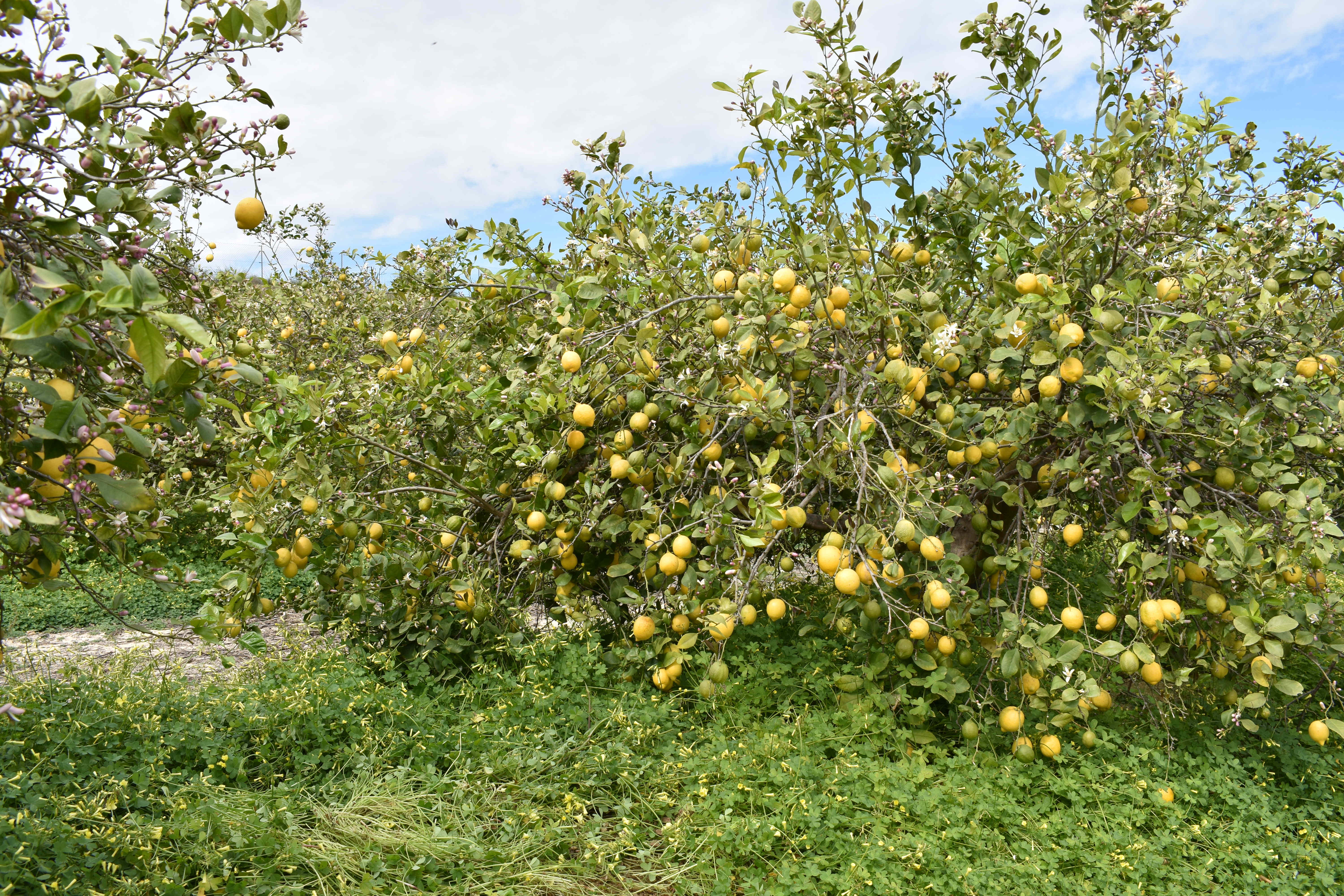 Lemon trees orchard in sustainable farming in southern Spain