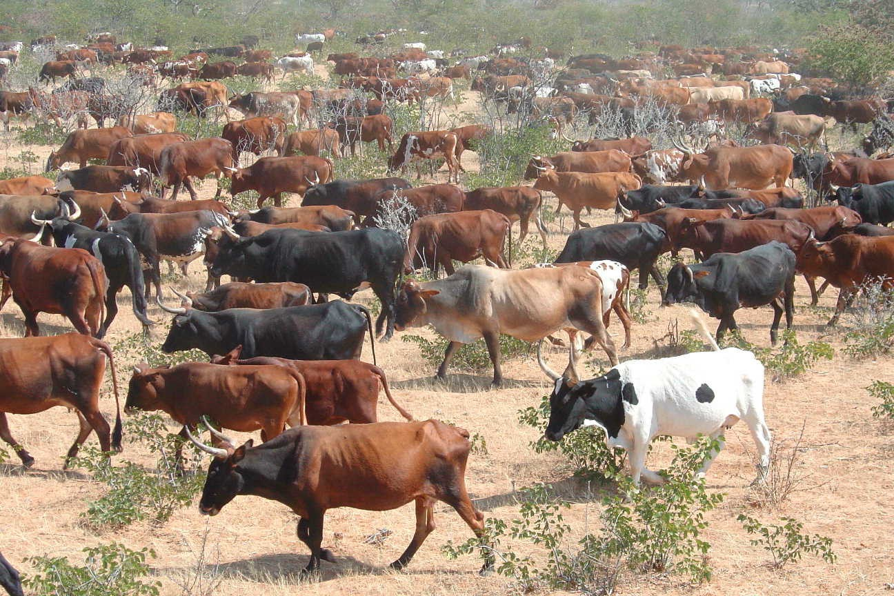 A combined herd under planned grazing