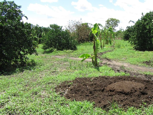 Animal manure use in a citrus orchard
