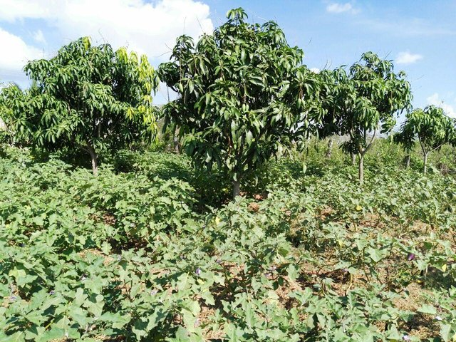 Intercropping of eggplants between mango trees using rice straw mulching to reduce evaporation